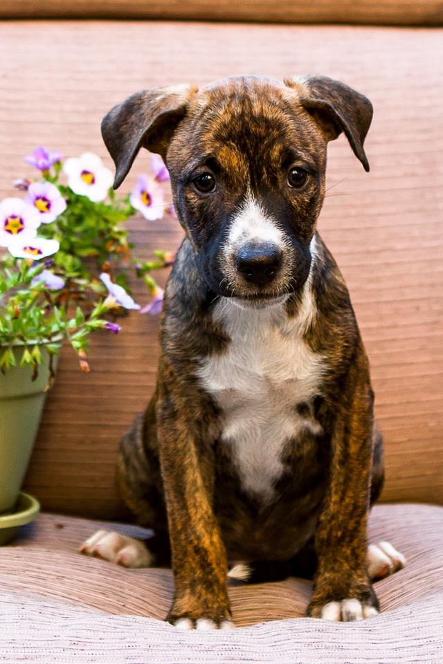 boxer_puppy_foster